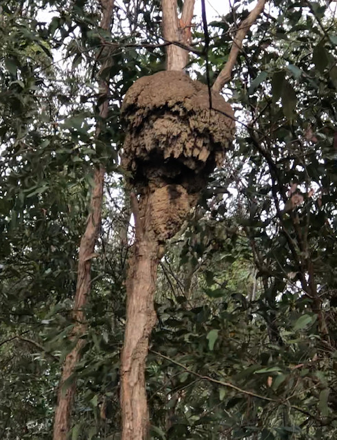 Microcerotermes Arboreal nest