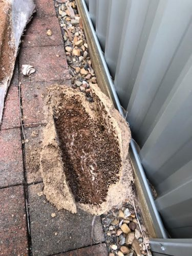 Termite Nest Found on Top of Rocks and Pavers