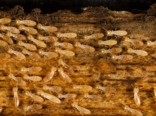Termites Smash Gold Coast Homes